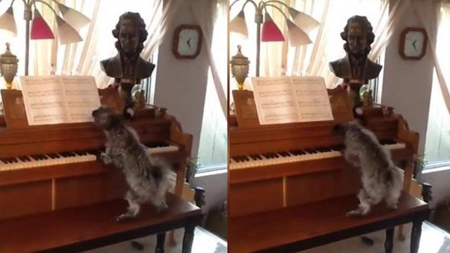 Amazing Beethoven Pooch Paws Song On Piano