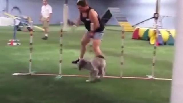 Clumsy Owners Fall Wrecks Dogs Obstacle Course Time