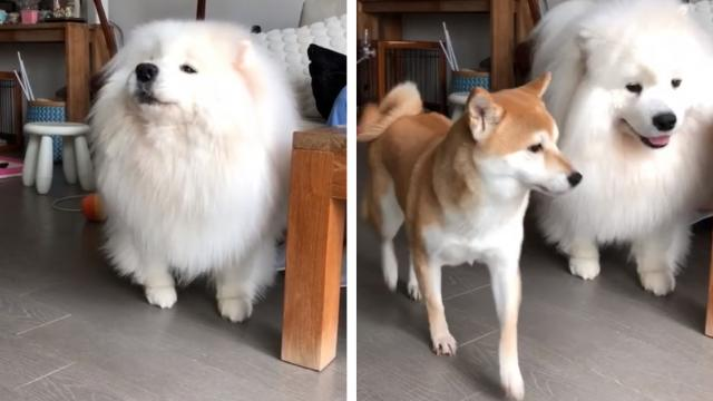 Shiba Inu Is So Baffled When Samoyed Howls Along To Music_Medium