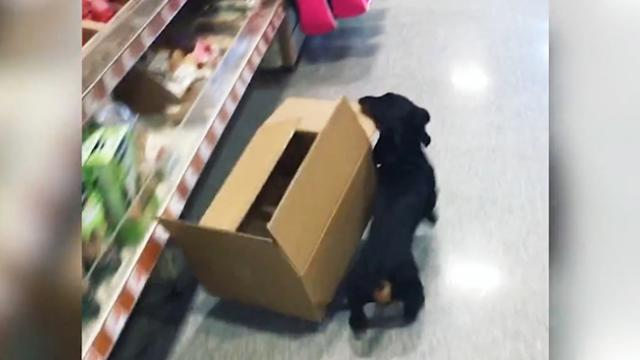 Adorable Dachshund Works At Local Pet Store Shop As Chief Meeter And Greeter
