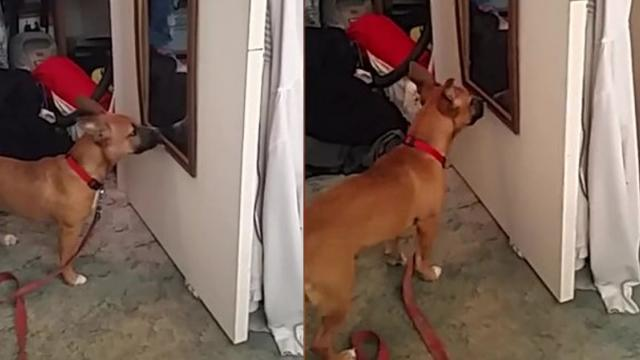 Guard Dog In Training Protects House Against His Own Reflection_Medium