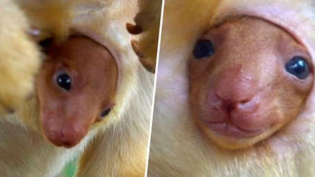 Moment Rare Tree-Kangaroo Joey Emerges From Mothers Pouch