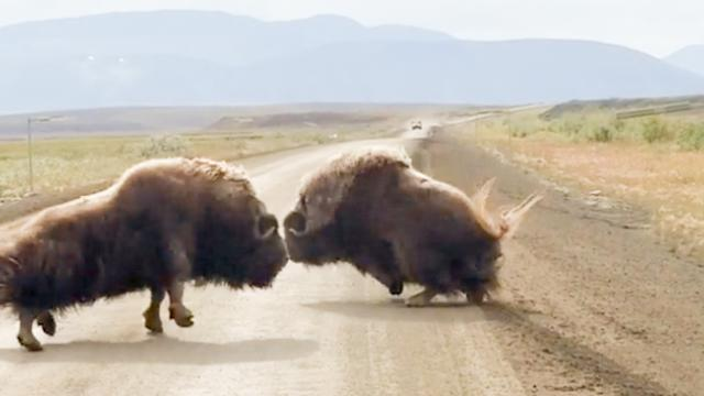 Man 'Stuck In Traffic' Watches Two Ox Fight In Middle Of Road