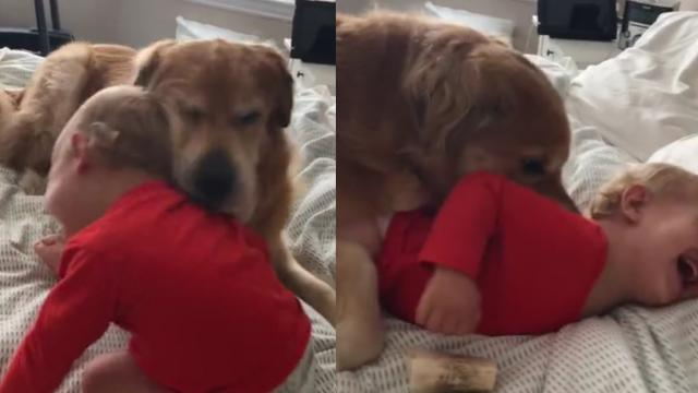 Loving Golden Retriever Has Tickle Fight With Giggling Toddler
