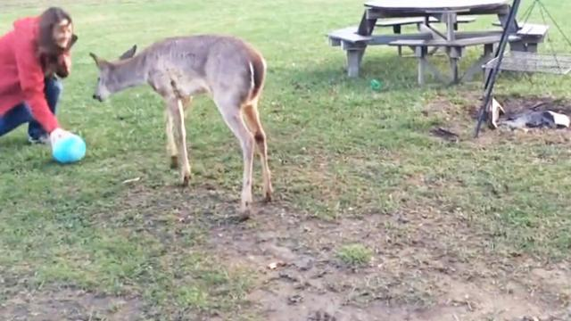 Talented Deer Likes To Play Ball (Cuteness Overload!)