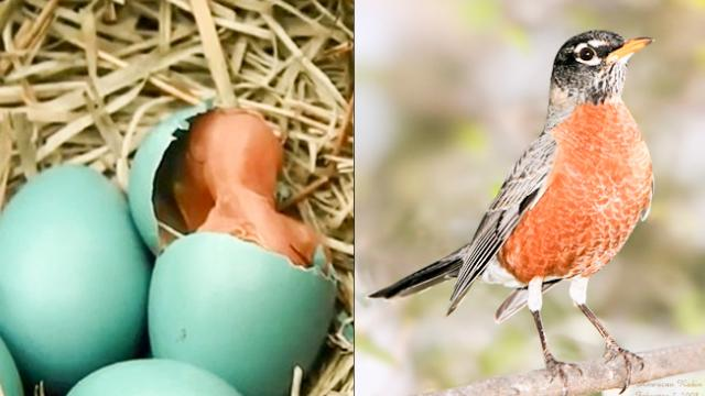 The strange bird-nest in the garden has blue eggs repeatedly moaning, 10 days after surprise when se