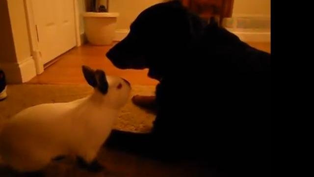 ROTTWEILER FINDS BUNNY IN BACKYARD AND DOES THE UNEXPECTED