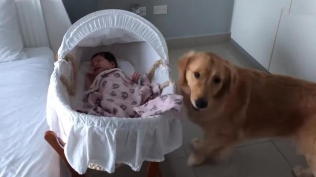 Sweet Golden Retriever soothes crying newborn baby