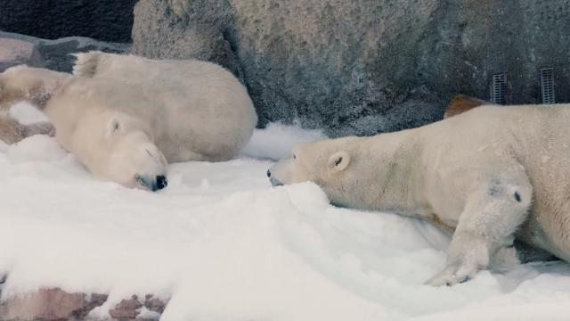 San Diego polar bears enjoy a white Christmas_Large