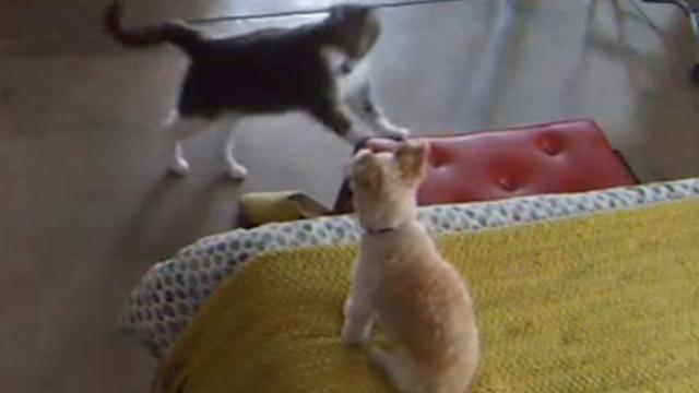 Annoyed Cat Stops Dogs Barking In Truly Hilarious Way