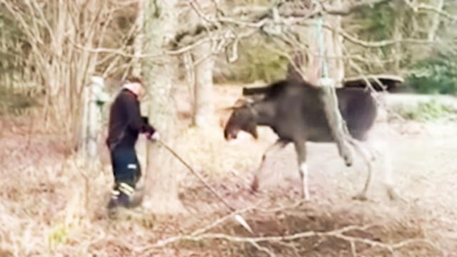 Man Approaches Trapped Moose And Catches His Reaction On Video - I Love My Dog So Much