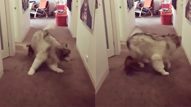 Big Malamute Chases Little Dachshund, Has No Idea She's Hiding Right Behind Him