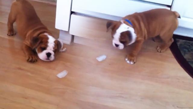 Baby Rugby the Bulldog plays with an ice cube
