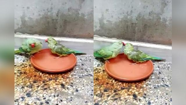 Two Green Ringneck Parrots Taking Bath Together and Enjoy