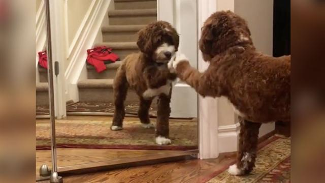Jolene The Dolly Doodle Fights With Mirror Dog - InspireMore