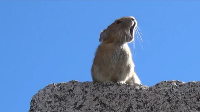 A Pika Channels Freddie Mercurys Audience Vocal Call and Response in an Amusing Mashup
