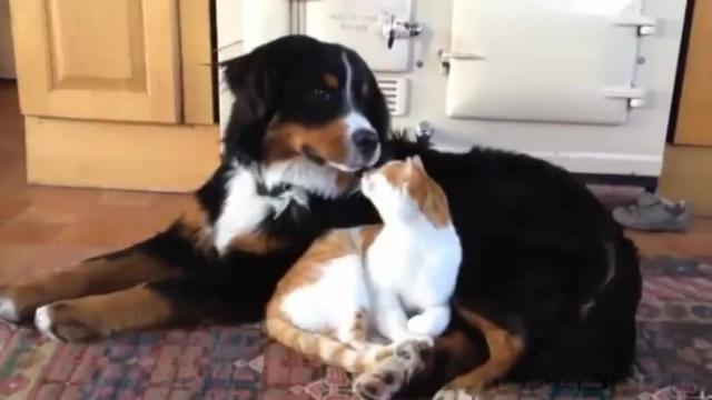 Dogs Annoying Cats with Their Friendship - Huffington Post [xXAy_QU5WE8]