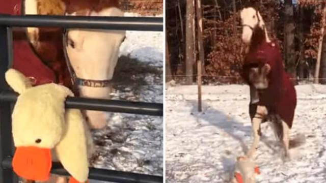 Horses Favourite Toy Is Secretly Replaced And His Reaction Speaks A Thousand Words
