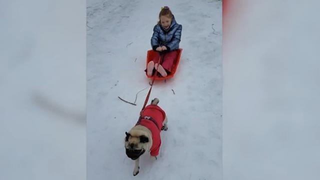 Just pugging along- Tiny pug replaces husky in helping kid to sled through snow