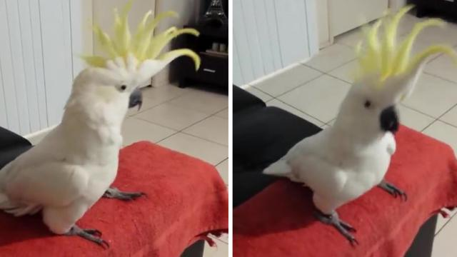 A música Happy de Pharrell Williams toca e esta cacatua começa