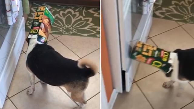 Guilty Dog Caught Red Handed With Box Of Crackers Stuck On