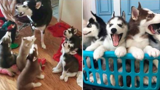 Husky Mom Starts To Howl Then Her Puppies Imitate Her In Adorable Fashion