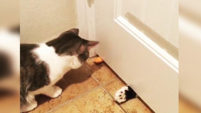 Adorable moment cat gets confused when toy mouse he keeps putting under door is batted back to him