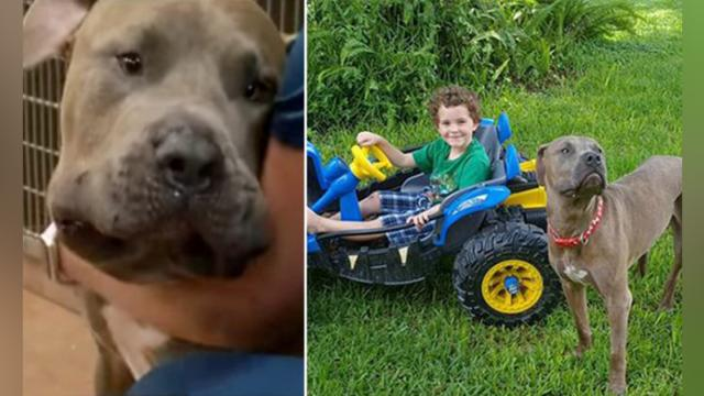 Brandon family's pit bulls save young children from venomous copperhead snake - YouTube (720p)