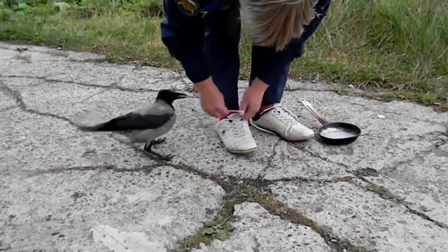 Crow Cleverly Distracts Woman To Steal Her Frying Pan