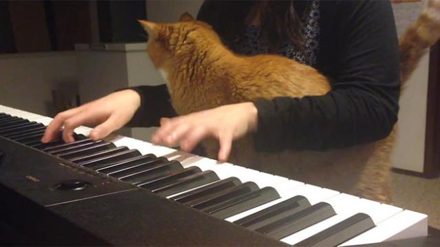 Big Orange Tabby Cat Hangs Out on His Human's Lap While She Tries to Play the Piano