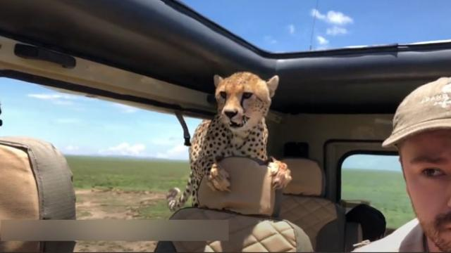 Cheetah surprises safari-goers by hopping into their SUV