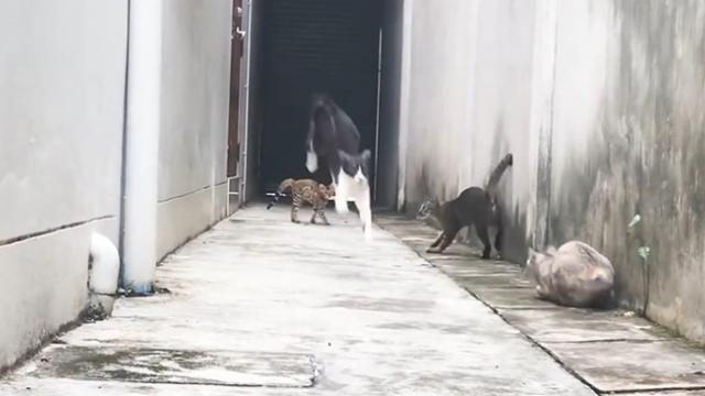 Look at this Cat how he dodged 3 Cats who wanted to catch him - Funny Escape