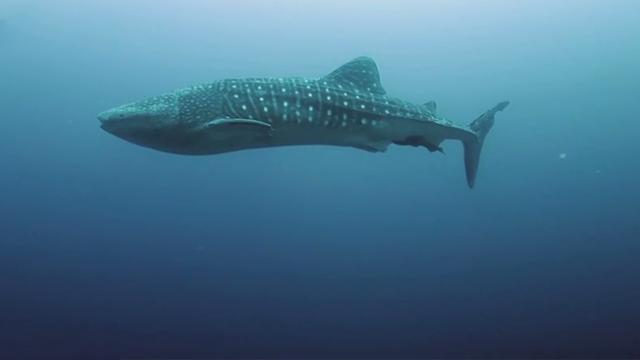 Magical moment divers meets juvenile whale shark