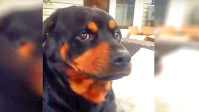 He Asks His Rottweiler To Make A Mean Face. Wait Until You See What That Looks Like