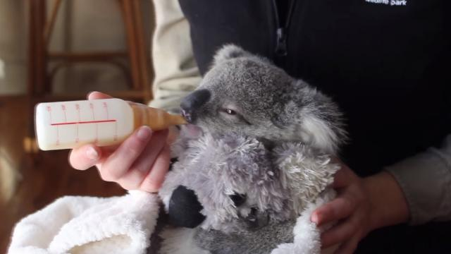 koala joeys most adorable home video of all time