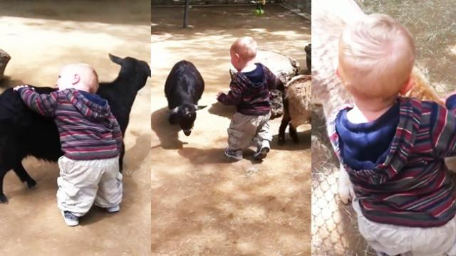 Baby loves goats