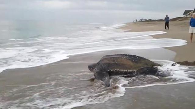 World's Largest Sea Turtle Emerges From The Sea And It Looks Majestic