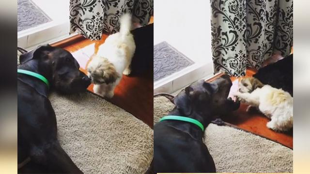 Puppy smothers Great Dane with loving kisses