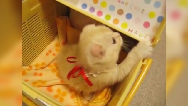 Hilarious: Housecat Meets New Kitten Member of the Family, and Is Not a Fan!