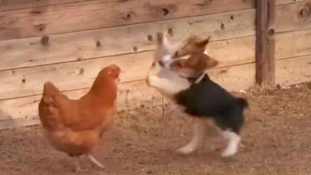 Corgi Pup Squares Off With Chicken Out Of Nowhere 3rd Contender Interferes To Take Action