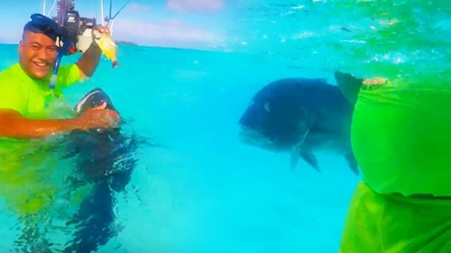 Tame Giant Trevally in Aitutaki (Cook Islands)