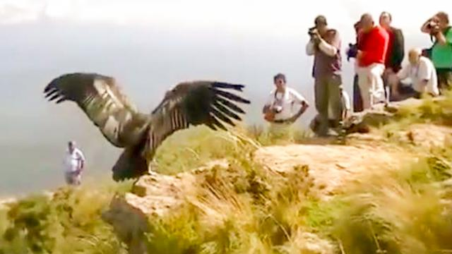 Condor 'Thanks' Rescuers Before Flying Back To The Wild - The Dodo