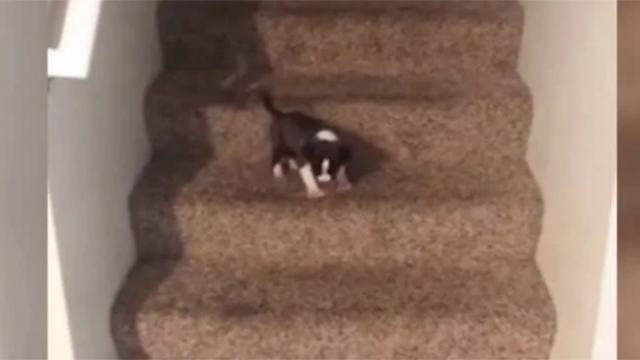 Tiny Puppy Cant Figure Out How To Use The Stairs, Throws Hilarious Tantrum When He Cant Get Down
