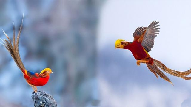This bird is known as the 'Red Phoenix'—its majestic appearance will make you feel fascinated!