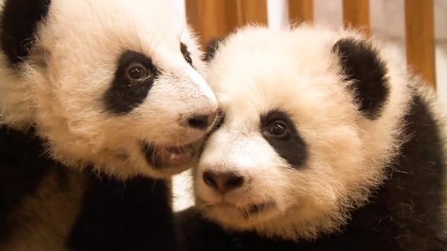 Baby Pandas Learn To Walk _ Archives _ NBC News