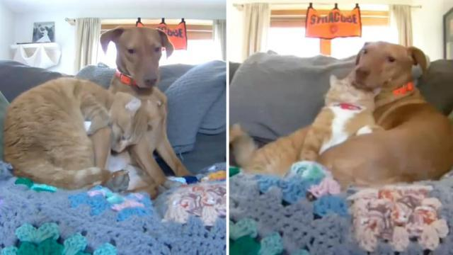 Camera captures cat comforting anxious dog while mom is at