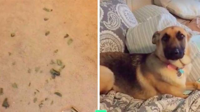 Mom Catches Dog Red Handed - His Plea To Get Out Of It Has Internet