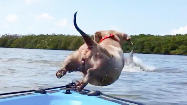 Dog Jumps Off Boat To Chase Dolphin