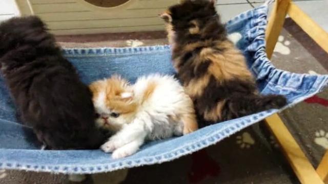 Cute Little Persian Kittens Playing Together  Guaranteed To Make You Smile