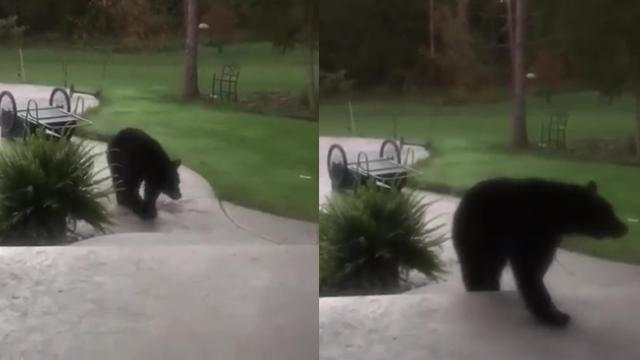 Hungry Bear Helps Himself to Cat Food in East Aurora, New York